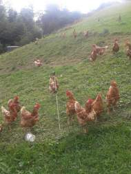 Hühner (12)