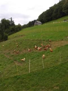 Hühner (13)