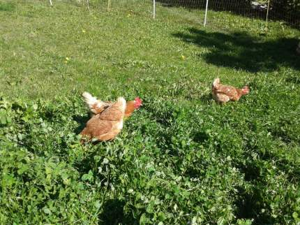 Hühner (15)
