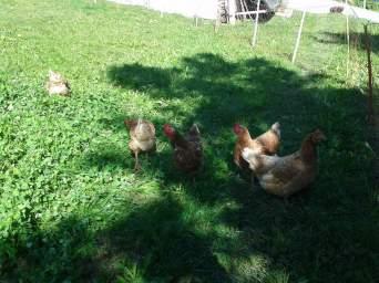 Hühner (17)