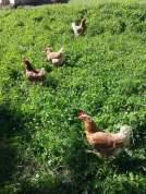 Hühner (19)