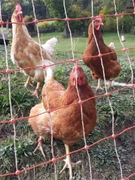 Hühner (20)