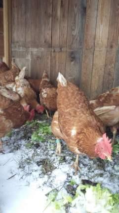3-Hühner im Schnee (3)