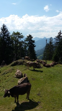 alpabfahrt-2016-13