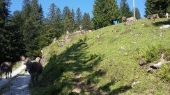 alpabfahrt-2016-15