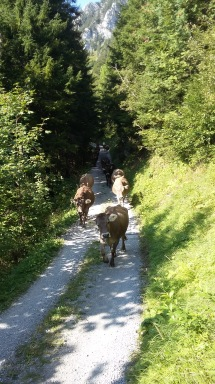 alpabfahrt-2016-21