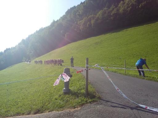 alpabfahrt-2016-22